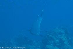 BD-141018-Komodo-5338-Triaenodon-obesus-(Rüppel.-1837)-[Whitetip-reef-shark.-Vitspetsig-revhaj].jpg